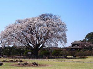 左近の桜写真
